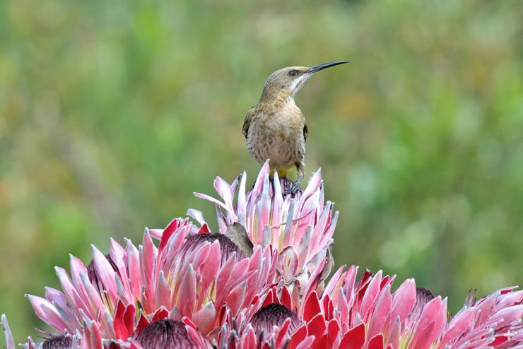 African sugarbird on protea flowers