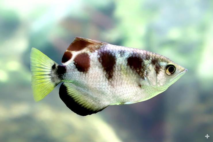 "The name archer fish reflects its ability to take down prey both underwater and above the water by spitting an ""arch"" of water at it."