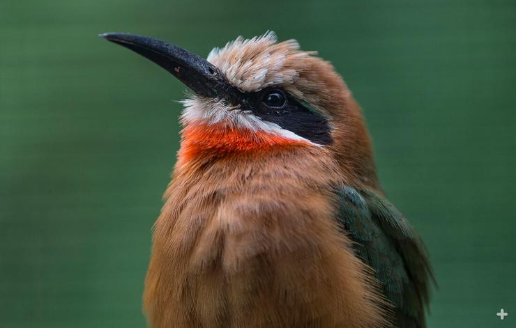 White-fronted bee-eaters will be part of the Zoo's Africa Rocks avian experience.