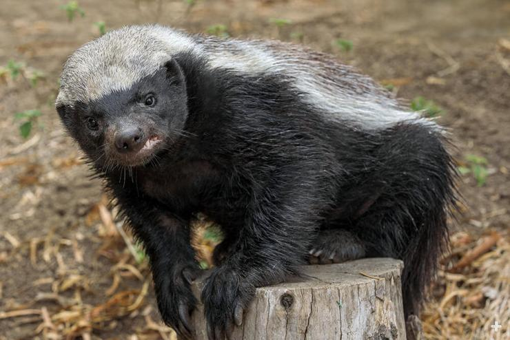 Honey badgers are tenacious and intelligent animals.