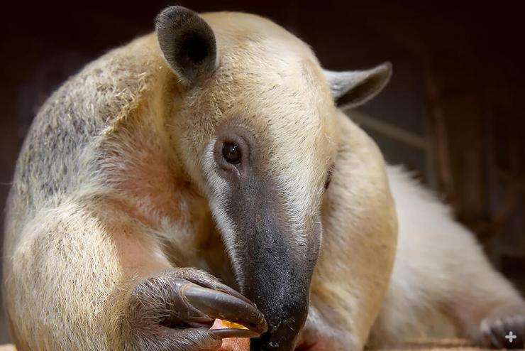 Tamandua are perfectly designed for life in the forest hunting ants and termites.