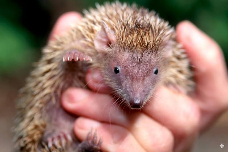 The kitten-sized lesser hedgehog tenrec is easily confused with the hedgehog.
