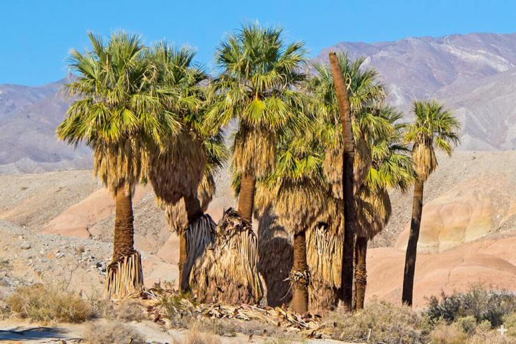 California fan palms in the desert.