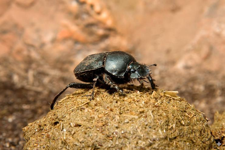 A dung beetle on top of a large ball of dung.