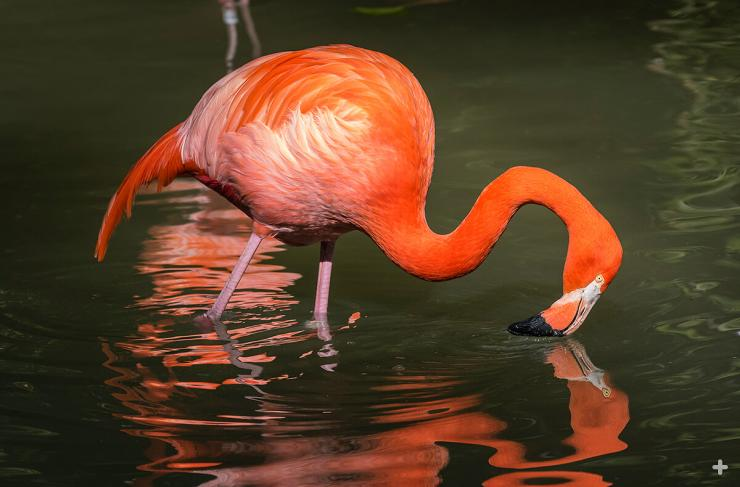 American flamingo feeding