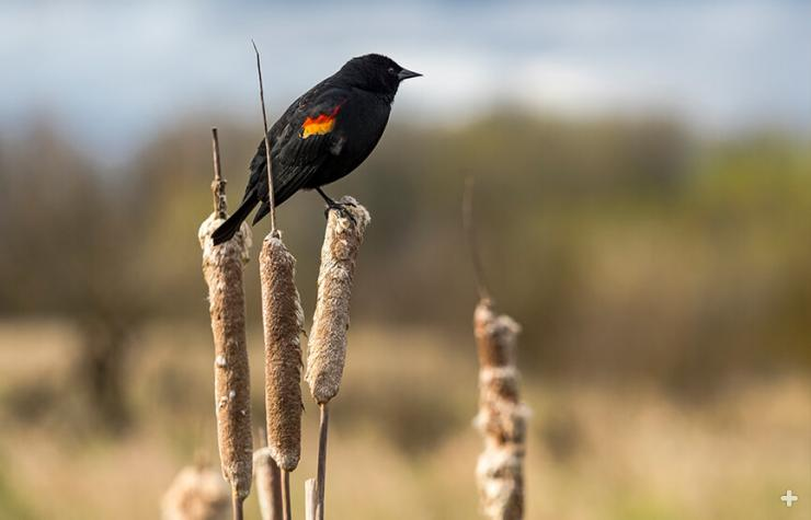 Red-winged blackbird sitting on cattails