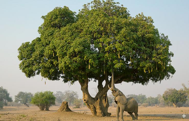 African elephant reaching for sausage tree fruit