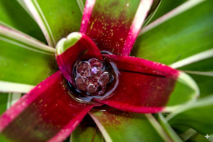 Many bromeliads have rosette-shaped clusters of leaves that form a water-gathering cup, and the leaves continually funnel moisture into this tiny reservoir. Insects are attracted to this water source, and they pollinate the plant when they drop in for a dip.