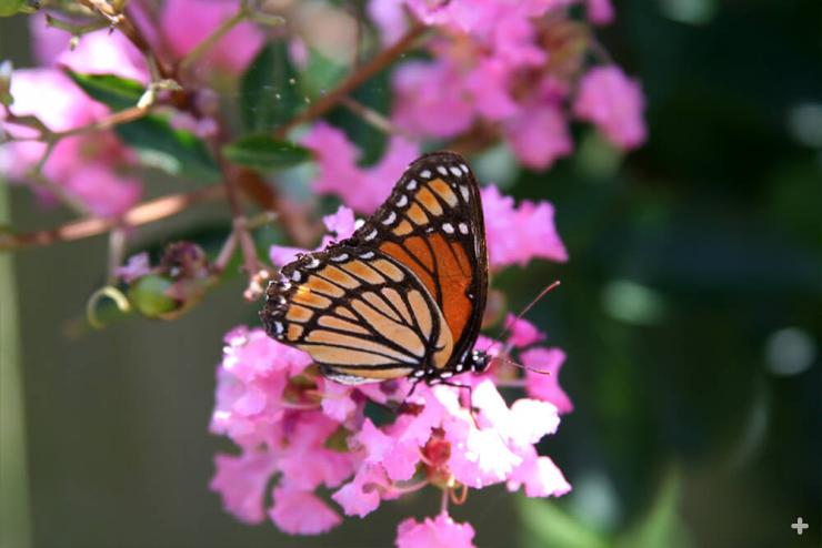 A monarch butterfly rests on a crape myrtle tree's flowers
