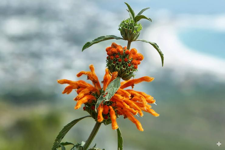 Lion's tail growing in coastal South Africa