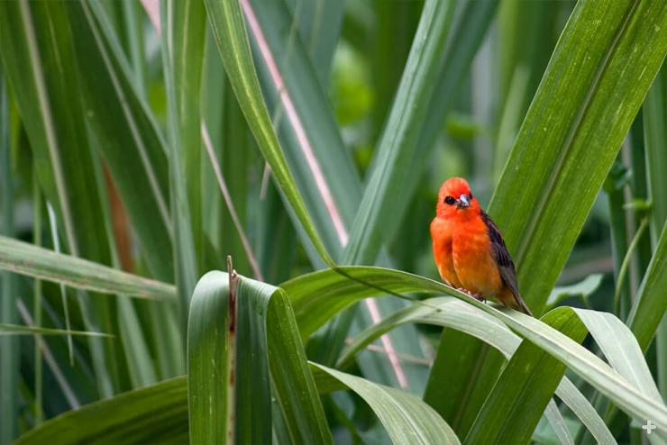 Madagascar fody bird on sugarcane leaves