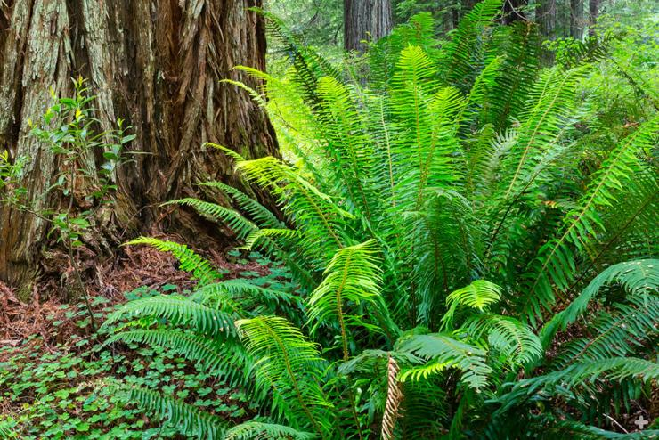 Sword fern growing in a redwood forest.