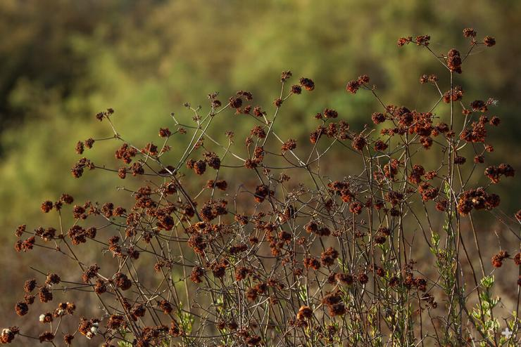 Clusters of wild buckwheat flowers dry to a coppery color.