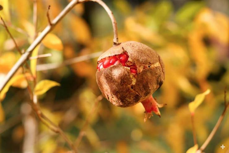 Ripe pomegranate fruit, cracked and exposing seeds