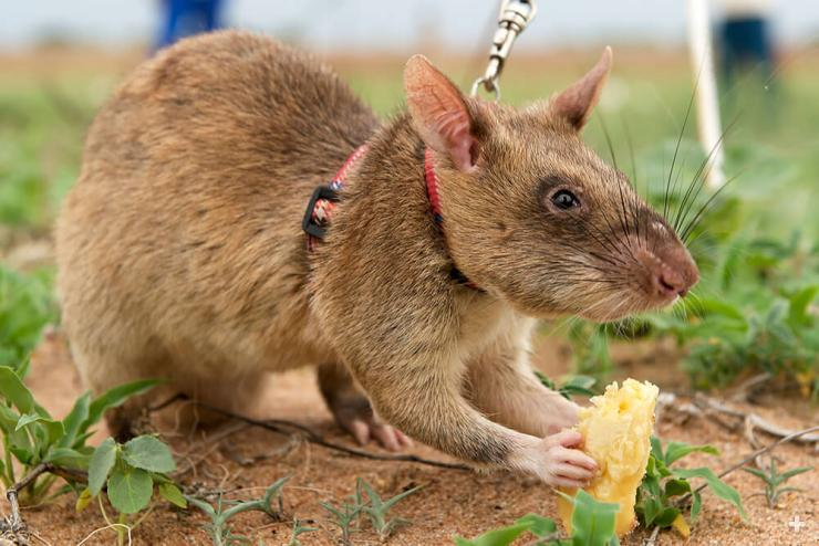 African giant pouched rat being rewarded with a piece of banana during mine-detection training.