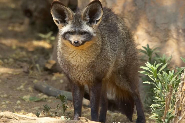 Adult bat-eared fox