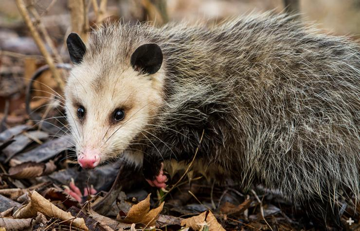 Opossums eat just about anything, and do much to keep their environment tidy.
