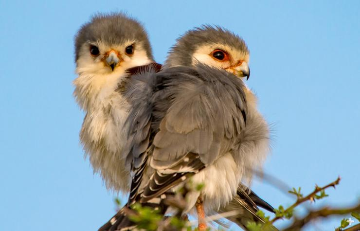 A pair of young pygmy falcons sit on a thorny tree. These birds are highly social.