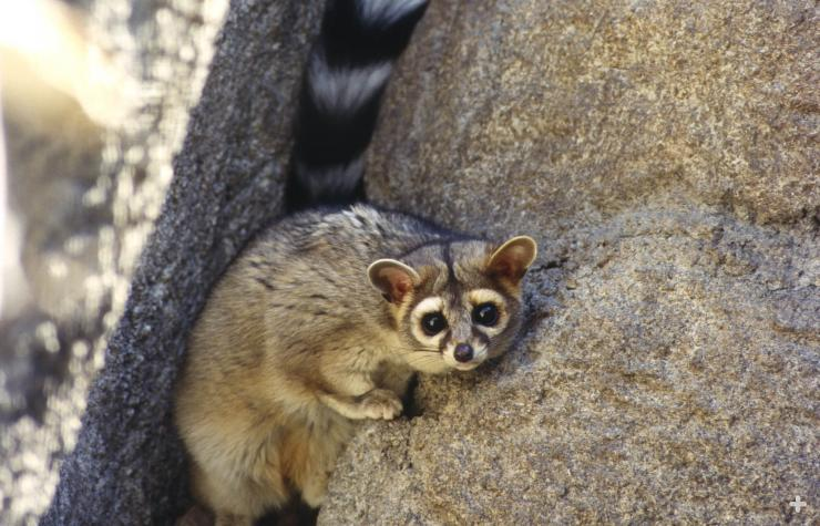 Ringtails are largely nocturnal animals who take refuge in boulders and rock crevices.