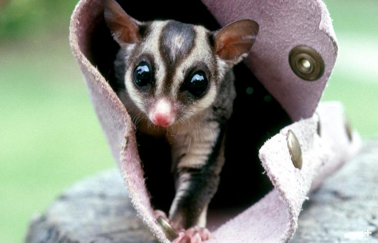 "Sugar glider emerging from a pouch. These animals ""tuck in"" cozy spots to sleep."