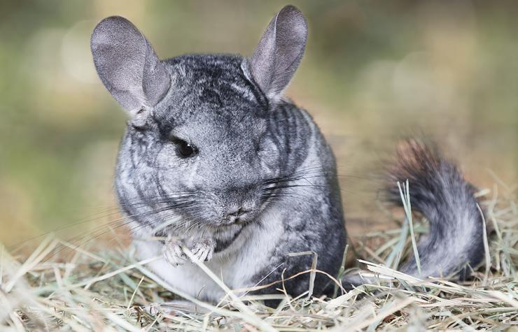 The gray long-tailed chinchilla is found only in the Andes Mountains of northern Chile at 9,800 to 16,400 feet in elevation.