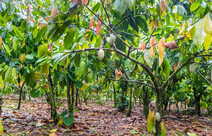 Cacao trees growing on a farm.