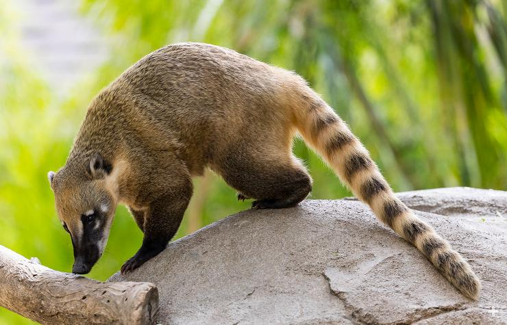 Coati with long striped tail.