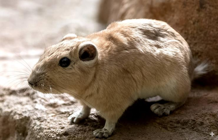 There are five gundi species.