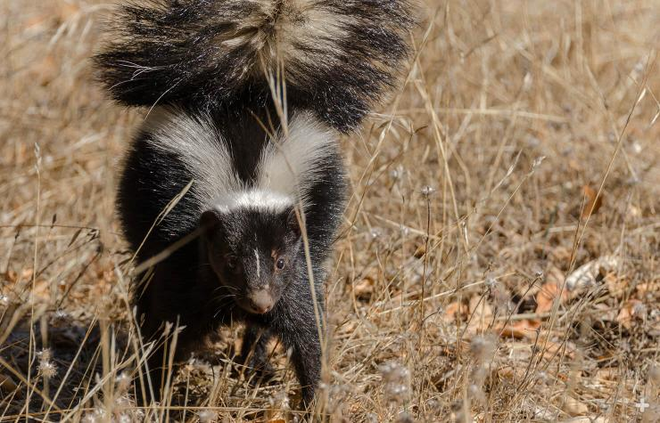 When you see a striped skunk with its tail raised, it's a good time to move away.