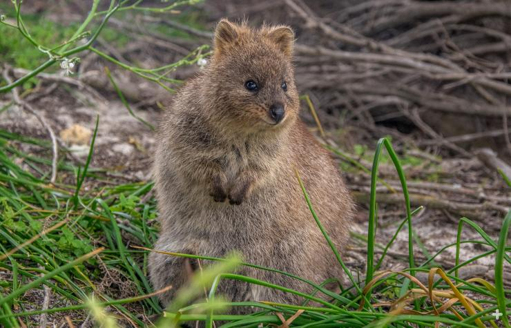 Quokka are at home scurrying through tunnels formed in native grasses.