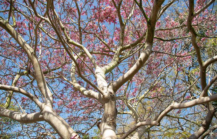 The pink trumpet tree bursts into bloom in early spring, before producing leaves.