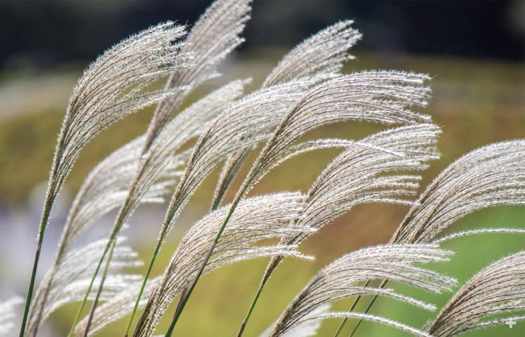 Silver grass has feathery purplish or coppery blooms, which grow on a long spike and look somewhat like corn tassels, fade to silver late in the season.