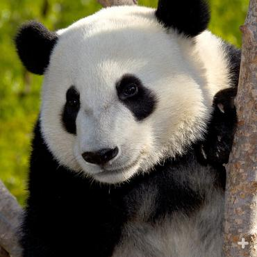 A wild giant panda eats 23 to 36 pounds (12 to 15 kilograms) of bamboo each day, which takes about 12 hours.