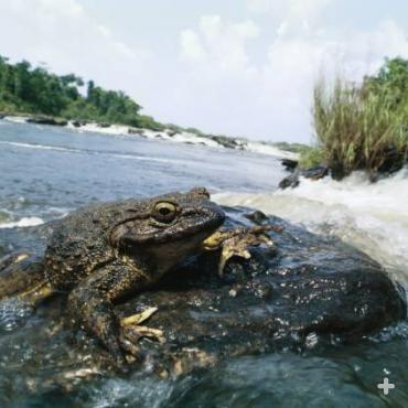 The goliath frog is normally found in and near fast-flowing rivers with sandy bottoms in the African countries of Cameroon and Equatorial Guinea.