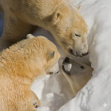 "At the Zoo's Polar Bear Plunge exhibit, Chinook, Kalluk, and Tatqiq enjoy a ""snow day,"" with a delivery of fresh snow to explore as enrichment."