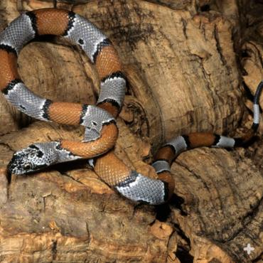 The gray-banded king snake seems to prefer rodents to other snakes, for a meal.