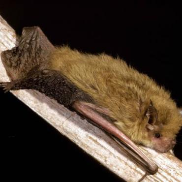 The pygmy long-eared bat is a type of vesper or evening bat. It is found only in Australia.