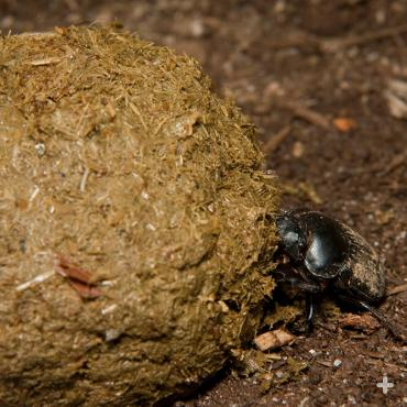 Dung beetles are on a roll! They use poop from other animals as shelter, food, and even to woo lady dung beetles.