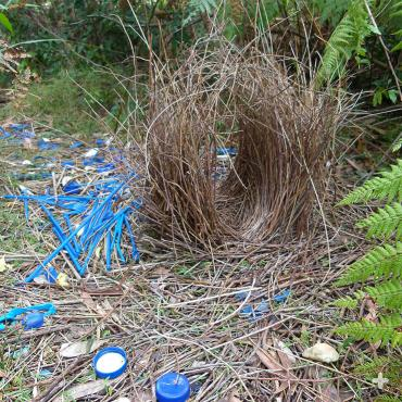 Satin bowerbird males are partial to blue objects for decorating their bowers.