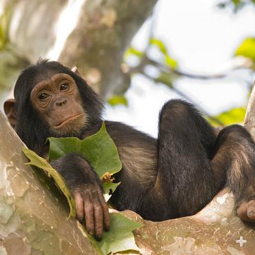 "Young chimpanzees are rambunctious and playful, but also need some ""me time"" once in a while."