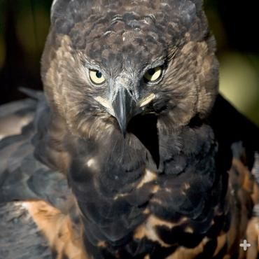 The crowned eagle is at home in the treetops.