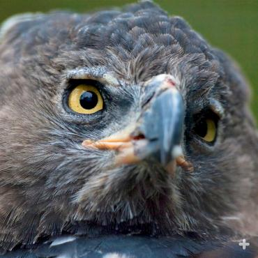 The crowned eagle is the most powerful bird in Africa.