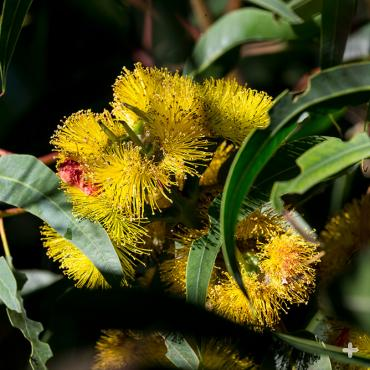 Flowers of the illyarrie <em>Eucalyptus erthrocorys</em>