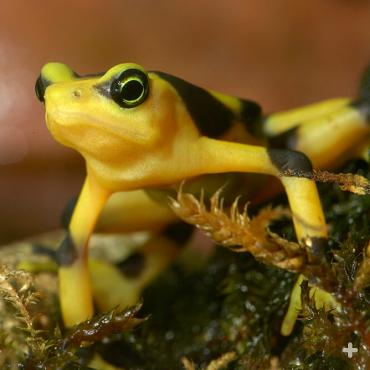 The Panamanian golden frog is brightly colored to warn potential predators that it is very toxic and would be dangerous to eat.