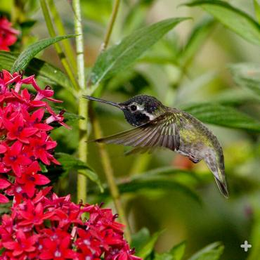 Hummingbirds are not attracted by fragrance, but it's easy for them to see red, so they're often drawn to red flowers, like these.