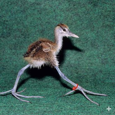 An African jacana chick struts its stuff on those long toes.