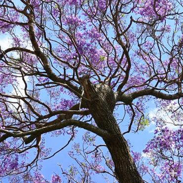 Jacaranda trunk and branches
