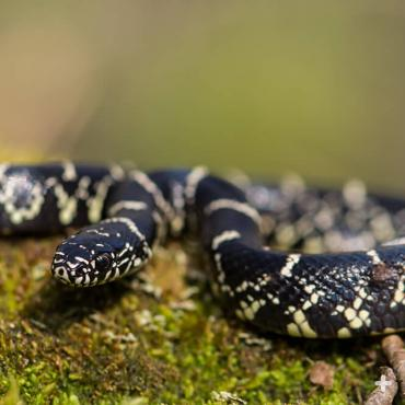 "Eastern kingsnakes are sometimes called ""chain snakes"" because of their unique markings."
