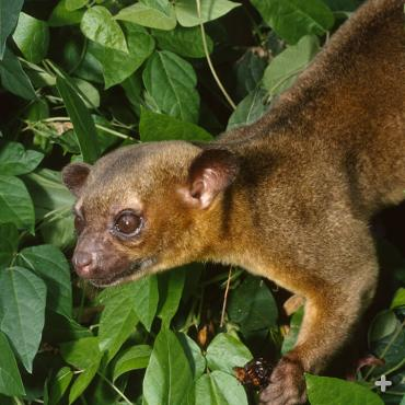 The kinkajou has a bow-legged walk that helps the animal travel on the rounded contours of thick branches.
