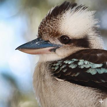 Kookaburra chicks are ready to fledge 33 to 39 days after they hatch, but they still need the group for food for two months after fledging.